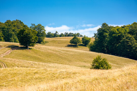 beech trees on the hill. empty alpine meadow with dry yellow grass. sunny weather with blue sky. countryside landscape of carpathian mountains in august