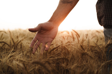 Male hand touches wheat ears on field at sunset