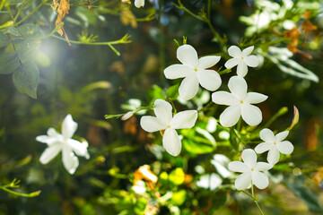 Planta de jazmin blanco con hojas verdes y cun un destello de luz solar. Vista de cerca y de frente. Macro