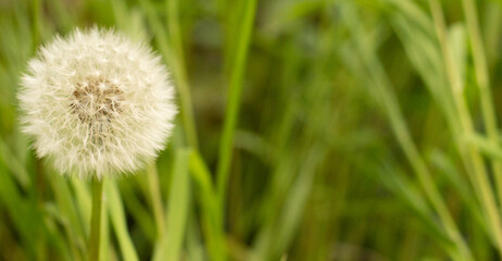 Jedyny piękny dmuchawiec na zielonej łące pełnej trawy