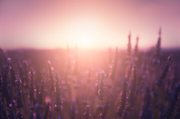 Lavender flowers at sunset in Provence, France. Macro image, shallow depth of field. Beautiful summer nature background