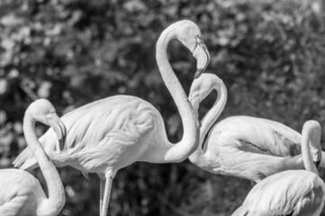 flamingi dwa