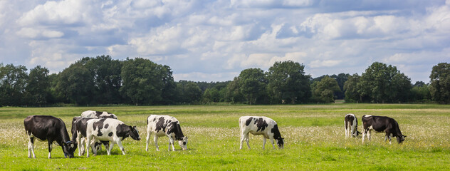 Panorama of typical dutch Holstein cows in the landscape of Drenthe, Netherlands