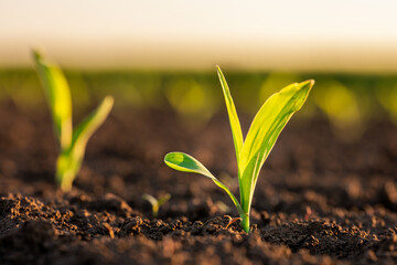 Fototapeta Green corn maize plants on a field. Agricultural landscape obraz