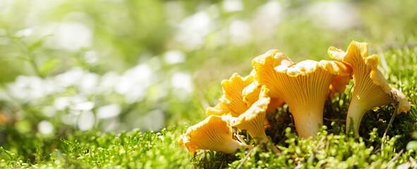 Fototapeta Edible mushrooms. Growing chanterelle mushrooms in a forest on green background obraz