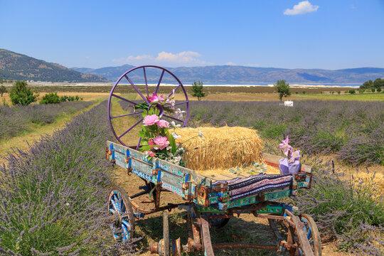 Village cart in lavender field near lake Salda in Burdur, Turkey