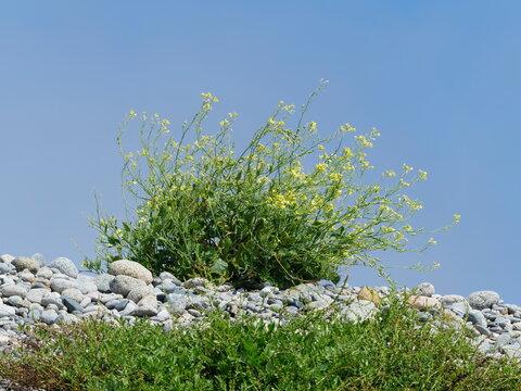 Wild flowers on the rocky coast