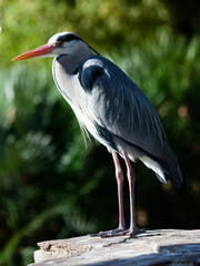 Grey heron posing on a stone. High quality photo