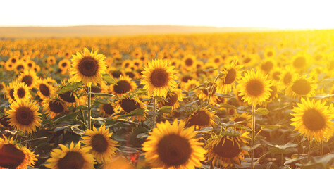 Sunflower agricultural field looks beautiful at sunset