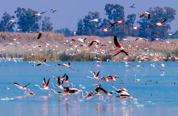 nice scene of flamingos flying in a nature reserve. hondo natural park. Wildlife landscape in the city of Elche located in the Valencian Community, Alicante, Spain