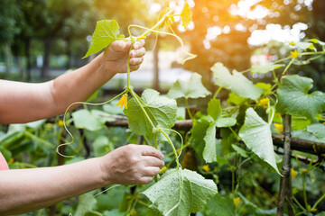 Woman hands working with plants, growing organic vegetables. Young cucumber plant in a vegetable garden