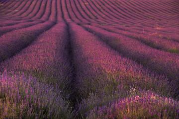 Volledig beeld van lavendel die in het veld groeit