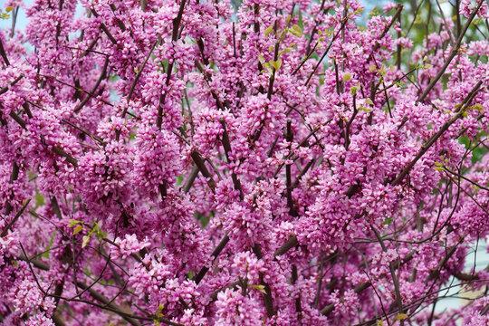 Eastern redbud (Cercis canadensis). State tree of Oklahoma.