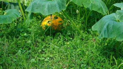 Dynia (Cucurbita L.) – rodzaj roślin jednorocznych z rodziny dyniowatych obejmujący około 20 gatunków. W stanie dzikim występują w strefach klimatu ciepłego Ameryki.