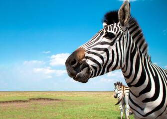 zebra chewing. Cape mountain zebra close-up against the sky. Equus zebra in natural habitat. National reserve of zebras Askania Nova. Zebra portrait cheerful. space for text. High quality photo
