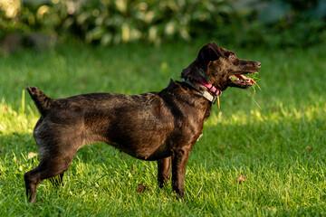 Fototapeta mały czarny pies z trawą w pysku obraz