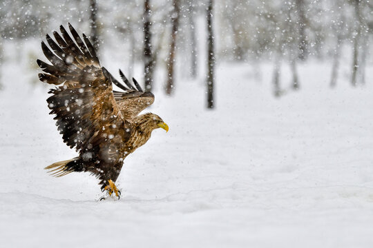 White-tailed eagle in heavy snowfall