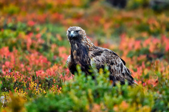 Golden eagle in the boreal forest against blueberry autumn colors