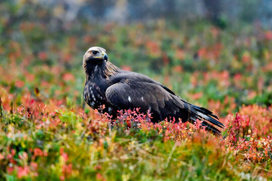 Golden eagle in the boreal forest with autumn colors