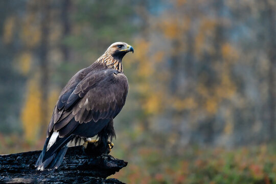 Golden eagle in the boreal forest at his guarding post.