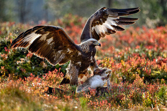 Golden eagle with the catch