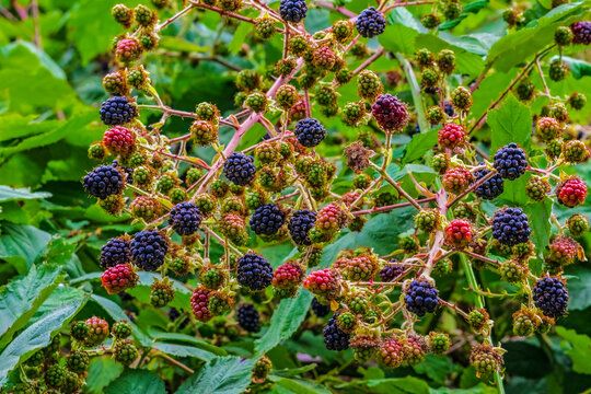 A blackberry bush with berries starting to ripen