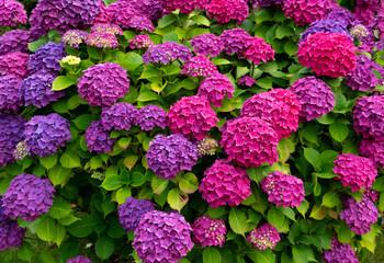 Hortensie Hydrangea Garten Blumen Busch farben bunt Blütenstände Pracht intensiv blau lila pink magenta Hintergrund beliebt Sylt Deutschland Nordsee Bienen Natur Züchtung Strauch Vorgarten