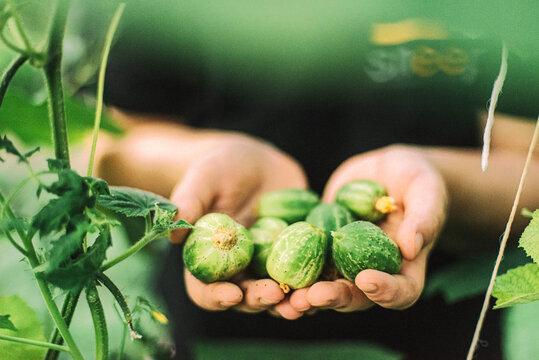 A woman picks a cucumbers from her garden