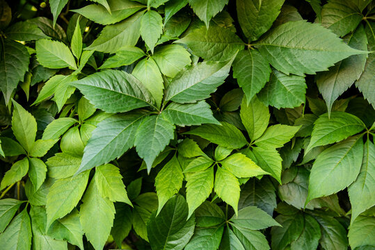 Virginia creeper plant background. Natural floral pattern. Lush dark green foliage of a parthenocissus plant.