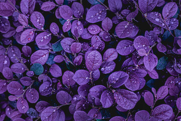 Obraz closeup nature view of purple leaves background, abstract leaf texture - fototapety do salonu