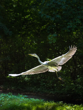 Great egret taking off the river