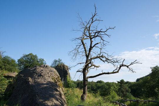 Trockener Baum auf dem Stenzelberg im Siebengebirge.