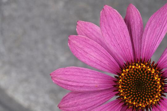 Echinacea, Sonnenhut purpurfarben