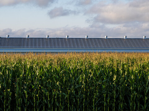 cornfield at sunrise with steel barn roof in background