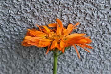 Obraz Pomarańczowy kwiat na tle szarej ściany.  - fototapety do salonu