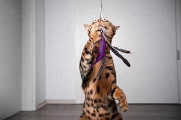 Obraz brown spotted bengal cat playing with feather toy indoors with copy space - fototapety do salonu