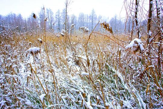 france,île de france,vallée de chevreuse : joncs sous la neige