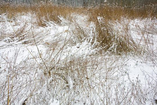 france,île de france,vallée de chevreuse : herbe et joncs sous la neige