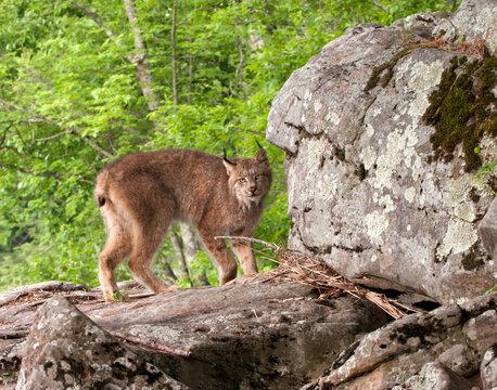 Lynx standing on rocks near a river