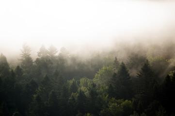 Fototapeta Krajobraz leśny wierzchołki drzew las we mgle panorama  obraz