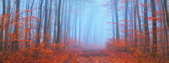 Panoramic view of pathway through beech forest. Thick fog, mysterious blue light. Red and orange...