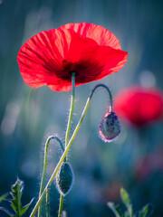 Poppy field in burgenland