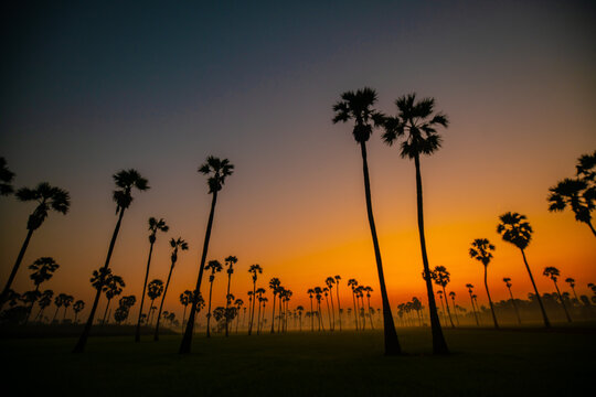 Silhouette morning sunrise rice plantation field with palm tree