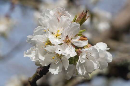 White flowers of cherry tree in a garden