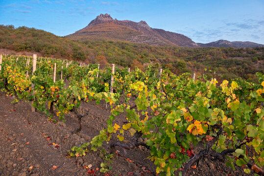 Autumn landscape with vineyard