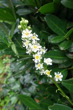 Lorbeerkirsche (Prunus laurocerasus), auch Pontische Lorbeer-Kirsche oder Kirschlorbeer - Blütenstand
