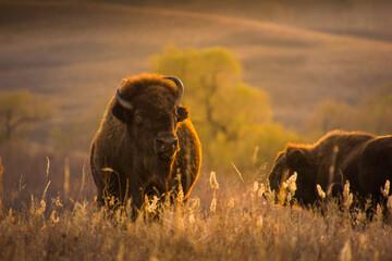 Een close-up shot van bizons of buffels bij zonsondergang