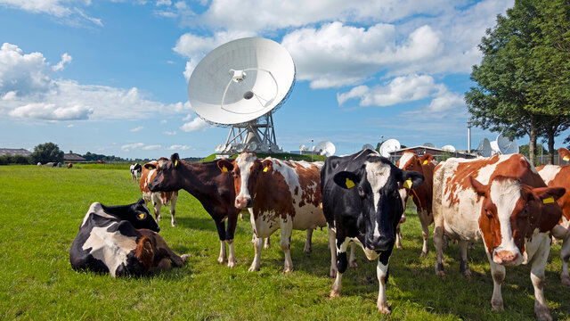 Cows in the field at large dish receivers for satellite communication in Burum The Netherlands