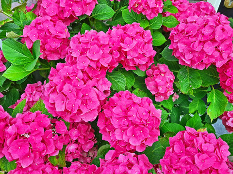 Blossoming hortensia flowers in summer in the Netherlands