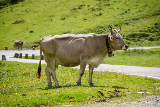 swiss brown cow herd by the road towards klausenpass